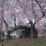 山梨観光の旅!日本三大桜 実相寺 山高神代桜と舞鶴城公園の桜をご紹介!