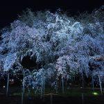 2017年東京お花見観光!最後は六義園の枝垂れ桜を堪能