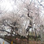 2017年埼玉お花見リベンジ!石戸蒲ザクラと熊谷桜堤でやっと満開の桜を観れました!