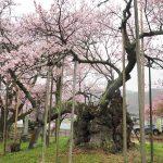 2017年 山梨お花見観光!山高神代桜!西山温泉と奈良田温泉白根館をハシゴ。ほうとう不動を喰らう。
