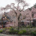 2017年 山梨お花見観光!身延山久遠寺の枝垂れ桜に感動