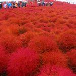 茨城観光!ひたち海浜公園のコキアの紅葉を観てきました!