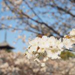 京都お花見観光!京都の遅咲き桜!仁和寺の御室桜と船岡温泉を巡る。