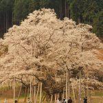 2017年 岐阜でお花見!日本三大桜 満開の淡墨桜とモネの池を見てきた感想