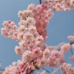 2017年 石川でお花見!金沢城、兼六園、尾崎神社の桜&近江町市場でのど黒!