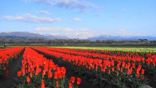 2017年 富山でお花見!舟川べりの桜とチューリップと北アルプスを観た感想
