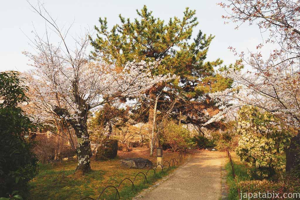 京都 早朝の円山公園と桜