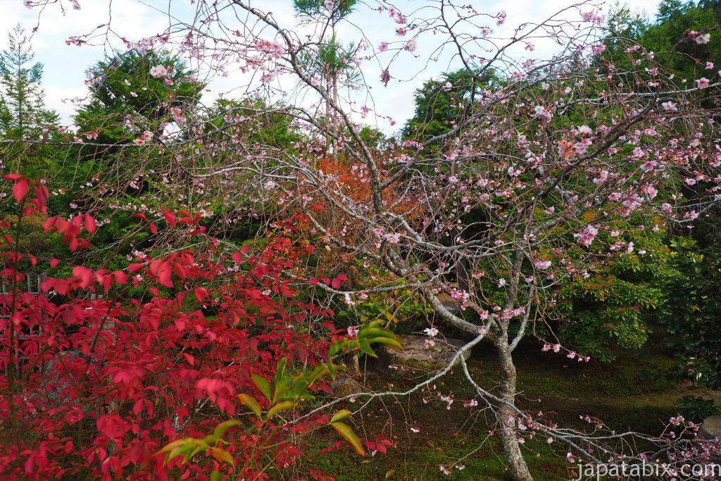 大原 実光院 不断桜の秋の満開の様子