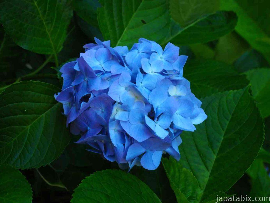 杉本寺 紫陽花