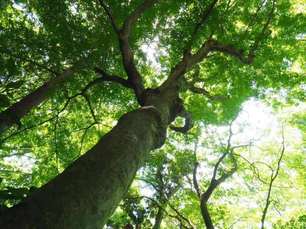 妙法寺 山の立派な木