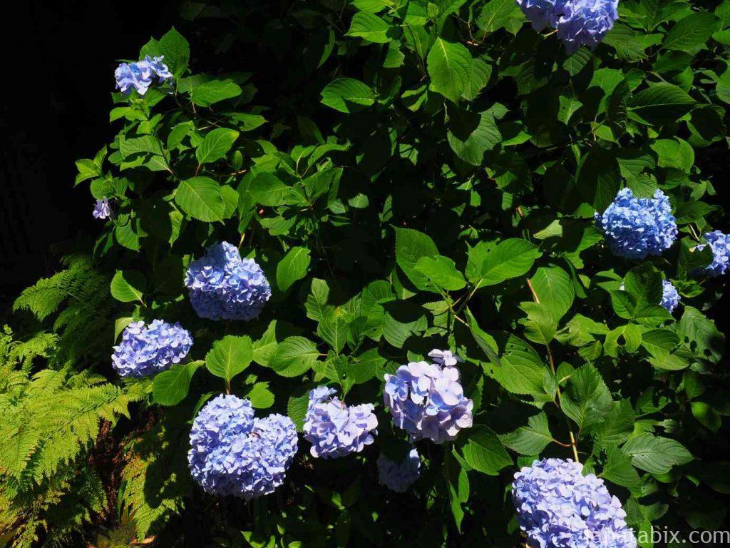 妙法寺 紫陽花