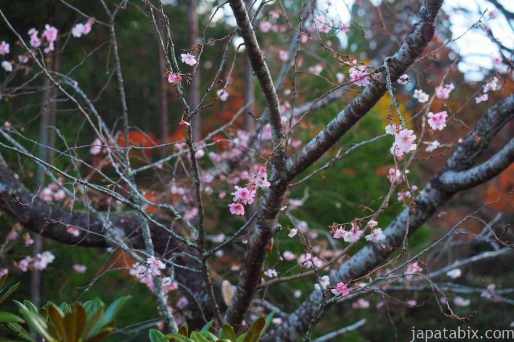 京都 大原 実光院 不断桜