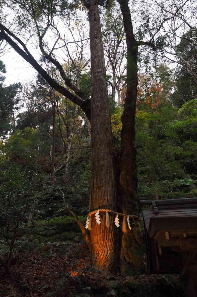 京都 貴船神社 奥宮 紅葉 連理の杉