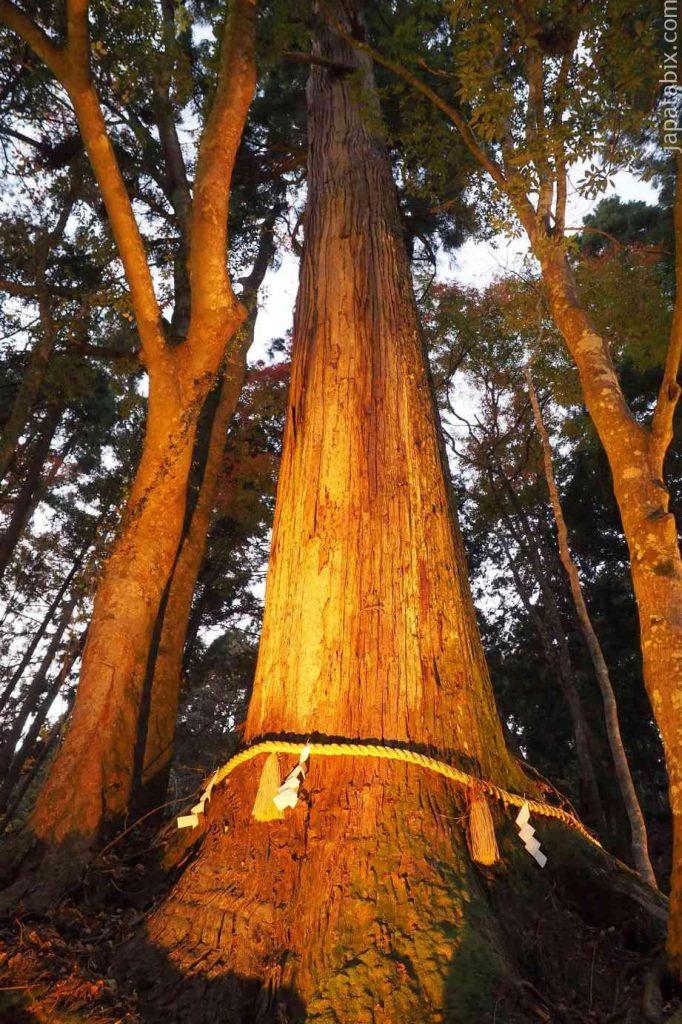 京都 貴船神社 奥宮 紅葉 相生の杉