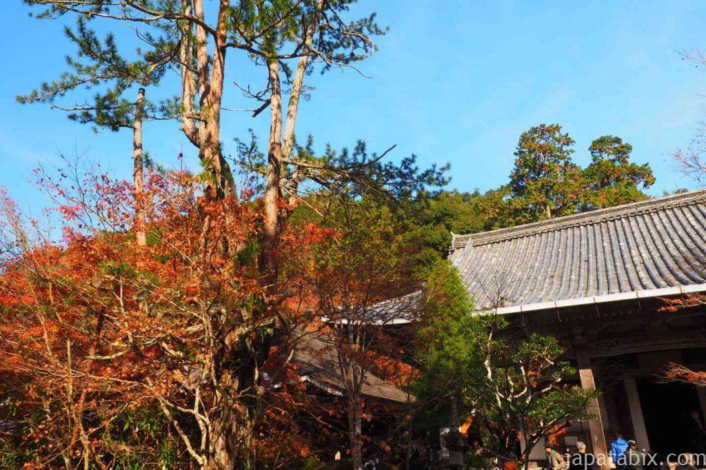 京都 高雄 西明寺 コウヤマキ