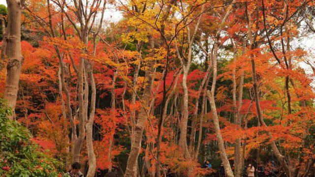 京都 嵯峨 祇王寺 苔庭 紅葉
