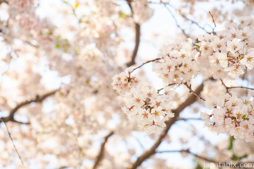 京都 醍醐寺の満開の桜