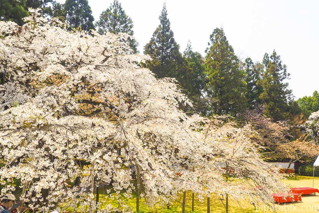 京都 醍醐寺 三宝院の桜
