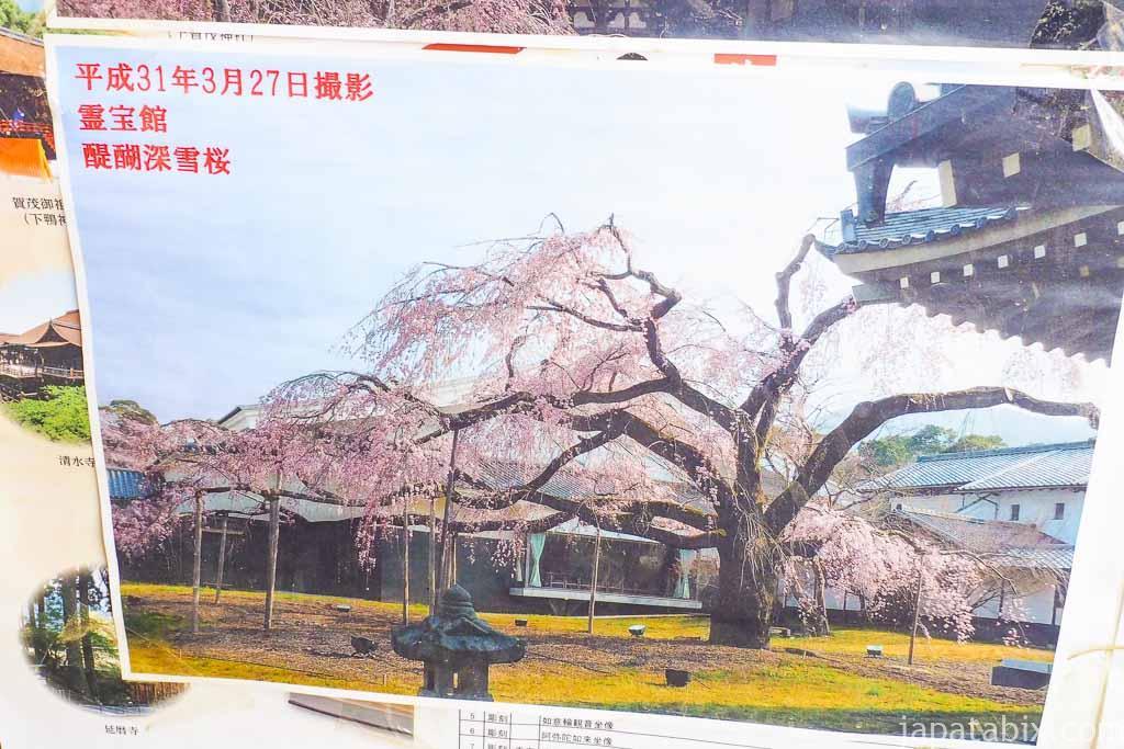 京都 醍醐寺 霊宝館の醍醐大しだれ桜