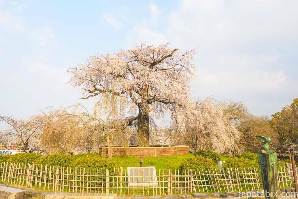 京都 早朝の円山公園と一重白彼岸枝垂桜