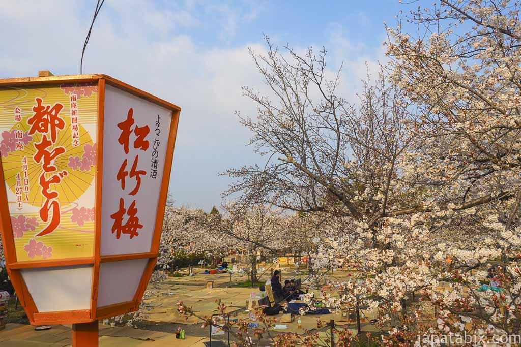 京都 早朝の円山公園 お花見の様子