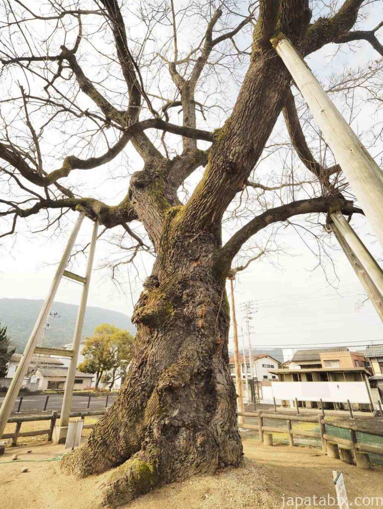 香川 大センダンの木