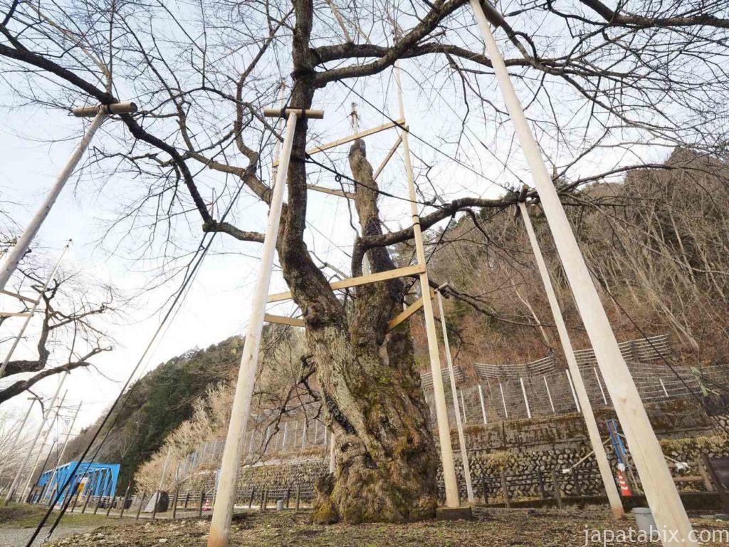 岐阜 荘川桜