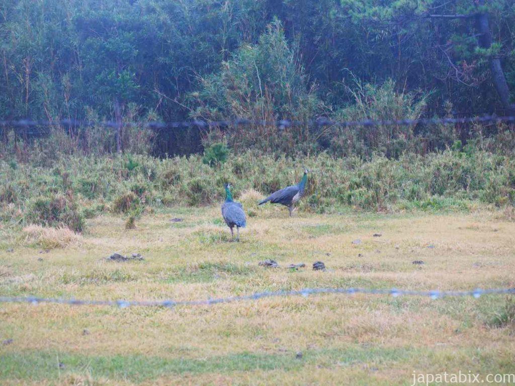 鹿児島 硫黄島 野生化した孔雀