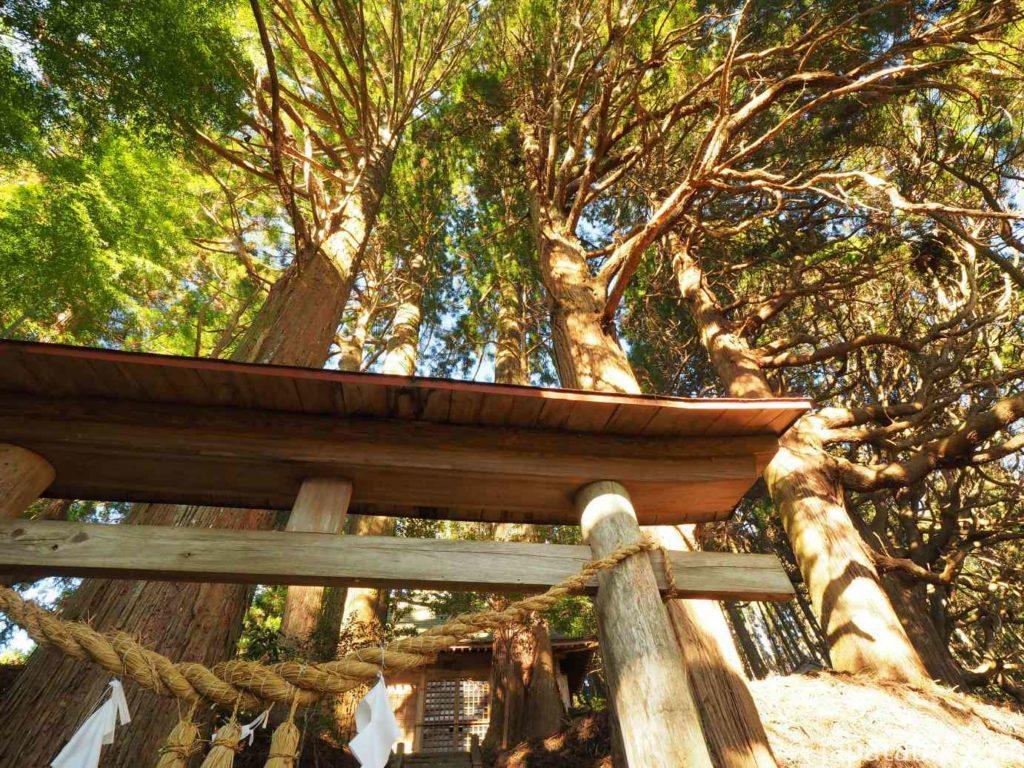 満山神社 金毘羅スギ