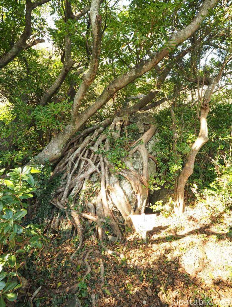 高知 室戸岬の石抱きのアコウ