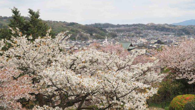 金沢市 兼六園の桜