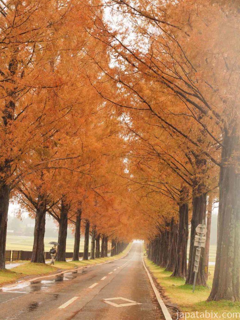 滋賀 メタセコイア並木の紅葉