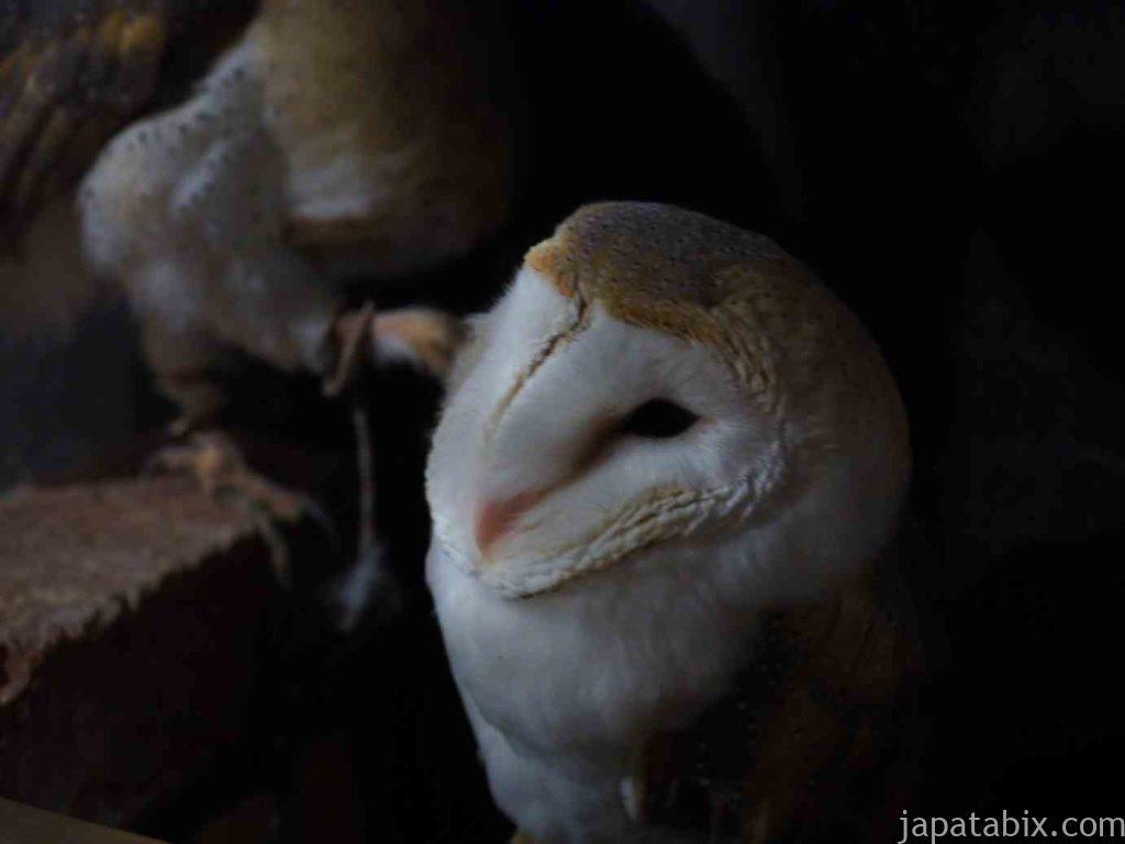 奈良 ならまち保護どうぶつ園 メンフクロウ