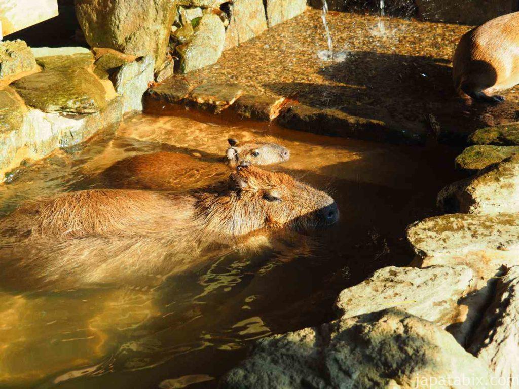 長崎バイオパーク 温泉に入るカピバラ親子