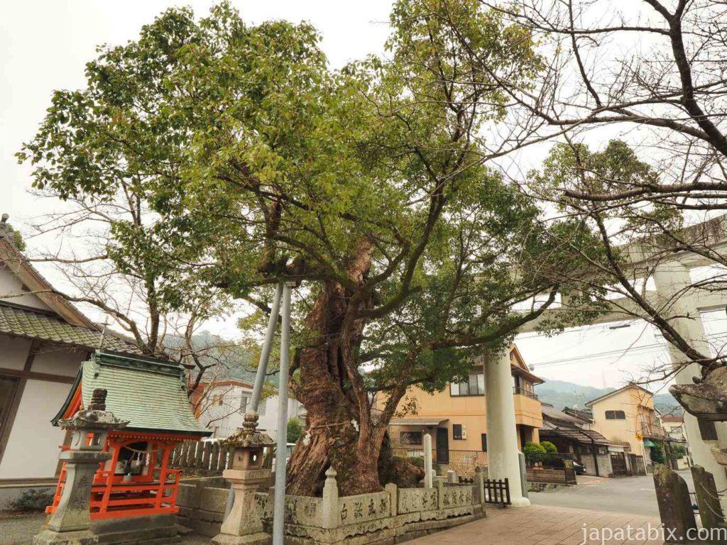 八代神社 妙見宮の樟