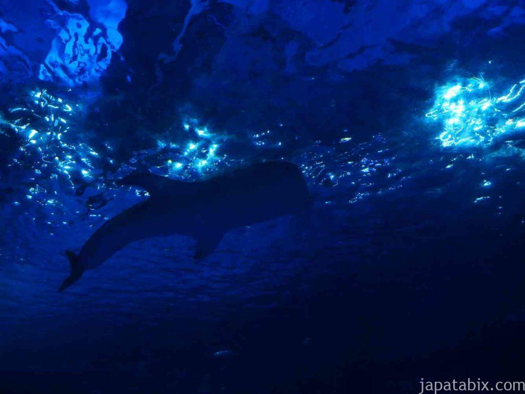 鹿児島 いおワールドかごしま水族館 ジンベエザメ