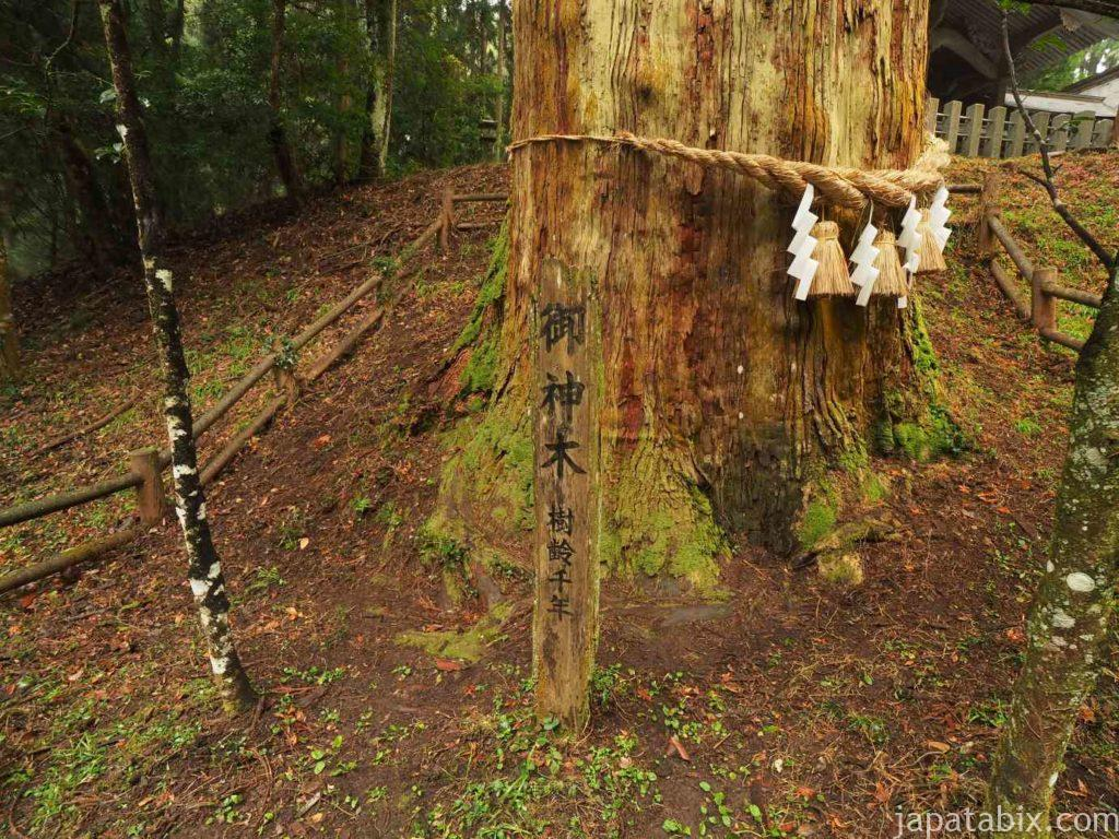 熊本 草部吉見神社の御神木