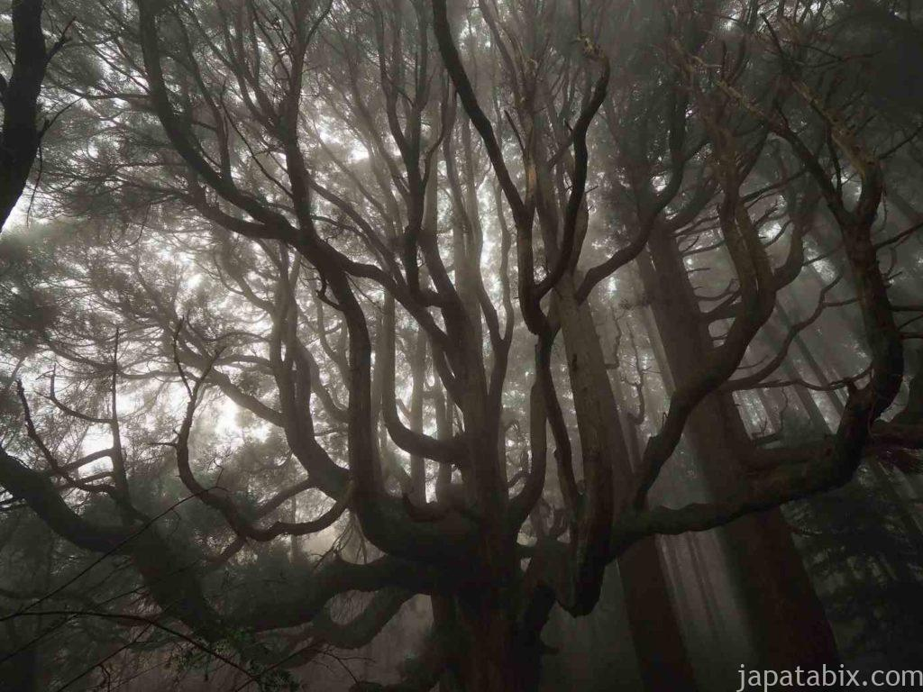 熊本 高森殿の杉