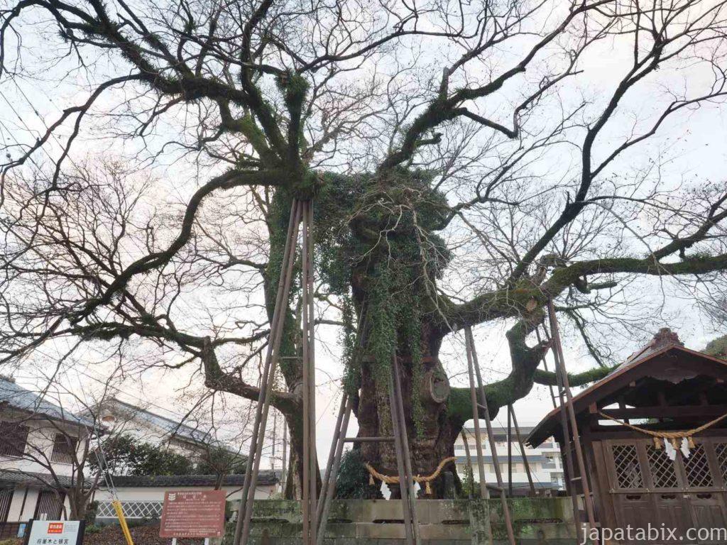 熊本 将軍木