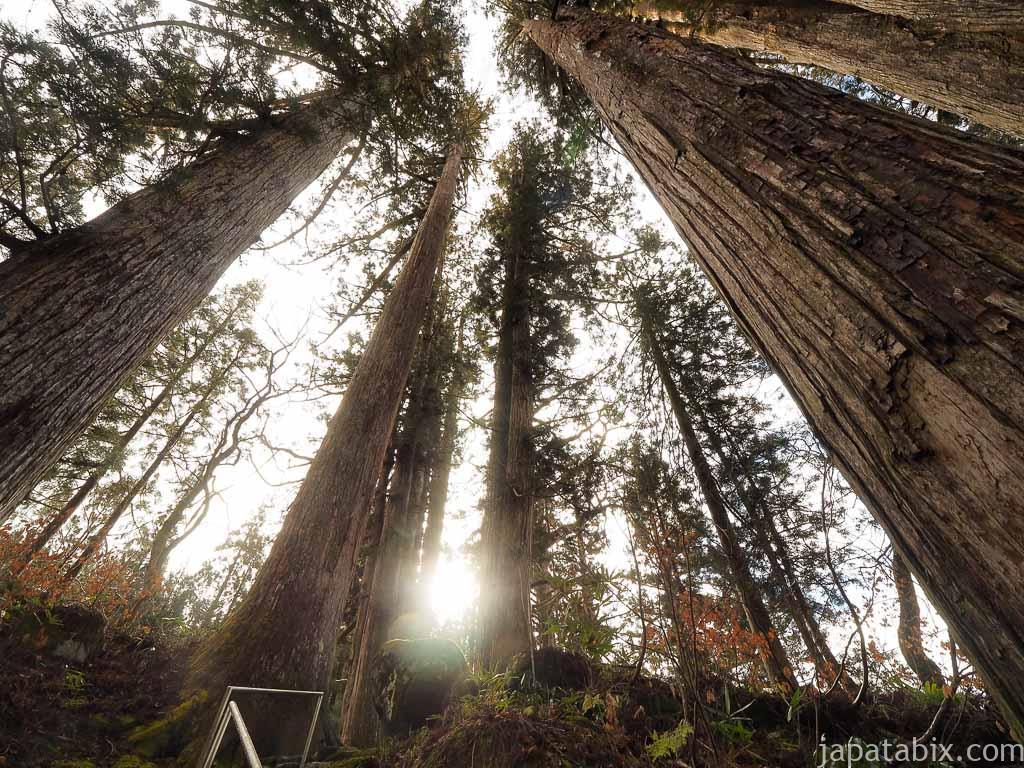 岐阜 白山中居神社 境内の巨木群