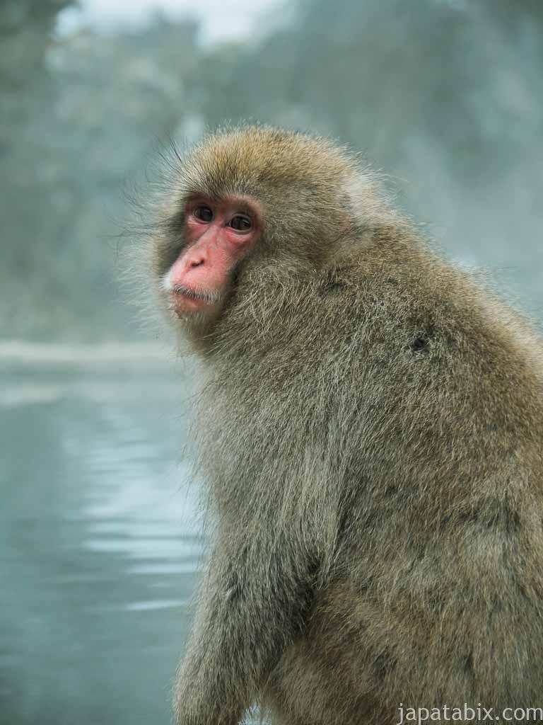 長野 地獄谷野猿公苑 温泉のそばに座りこむサル