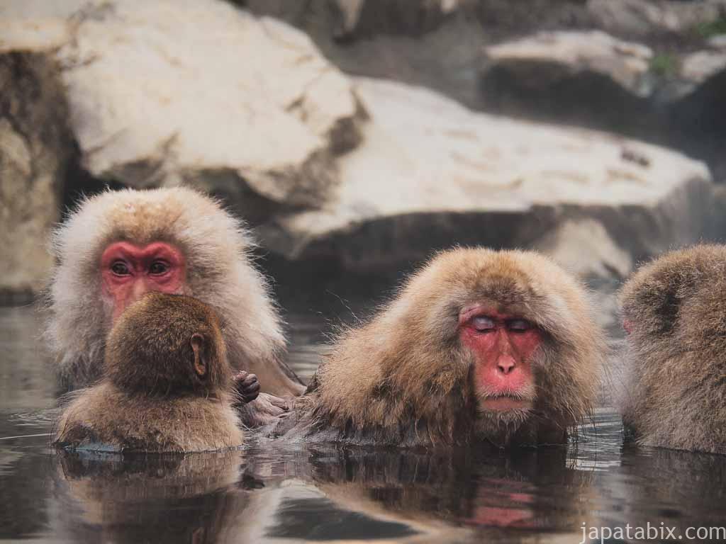 長野 地獄谷野猿公苑 温泉に浸かるサルたち