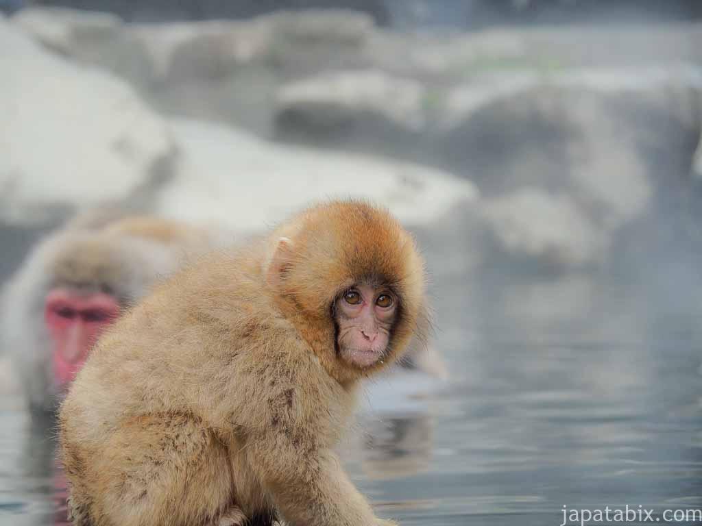 長野 地獄谷野猿公苑 温泉に浸かる子ザル