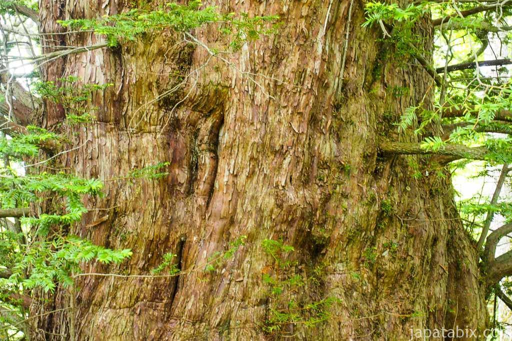 北海道 巨木 芦別 黄金水松