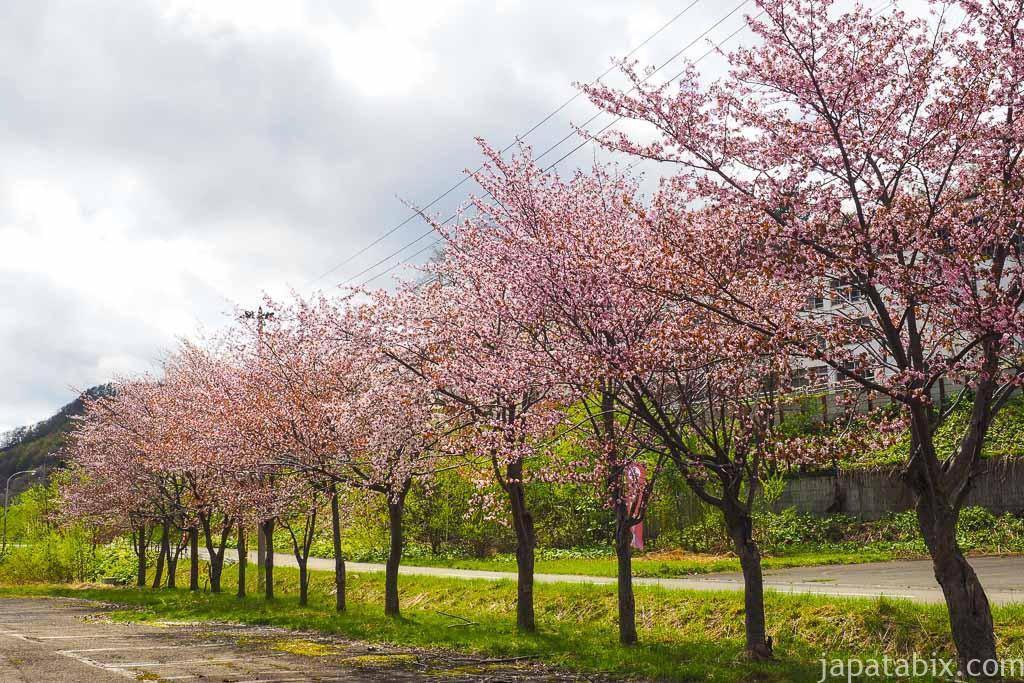 花畑牧場夕張希望の丘 の桜