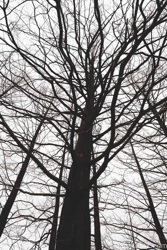夕張市石炭博物館 石炭の樹 メタセコイア
