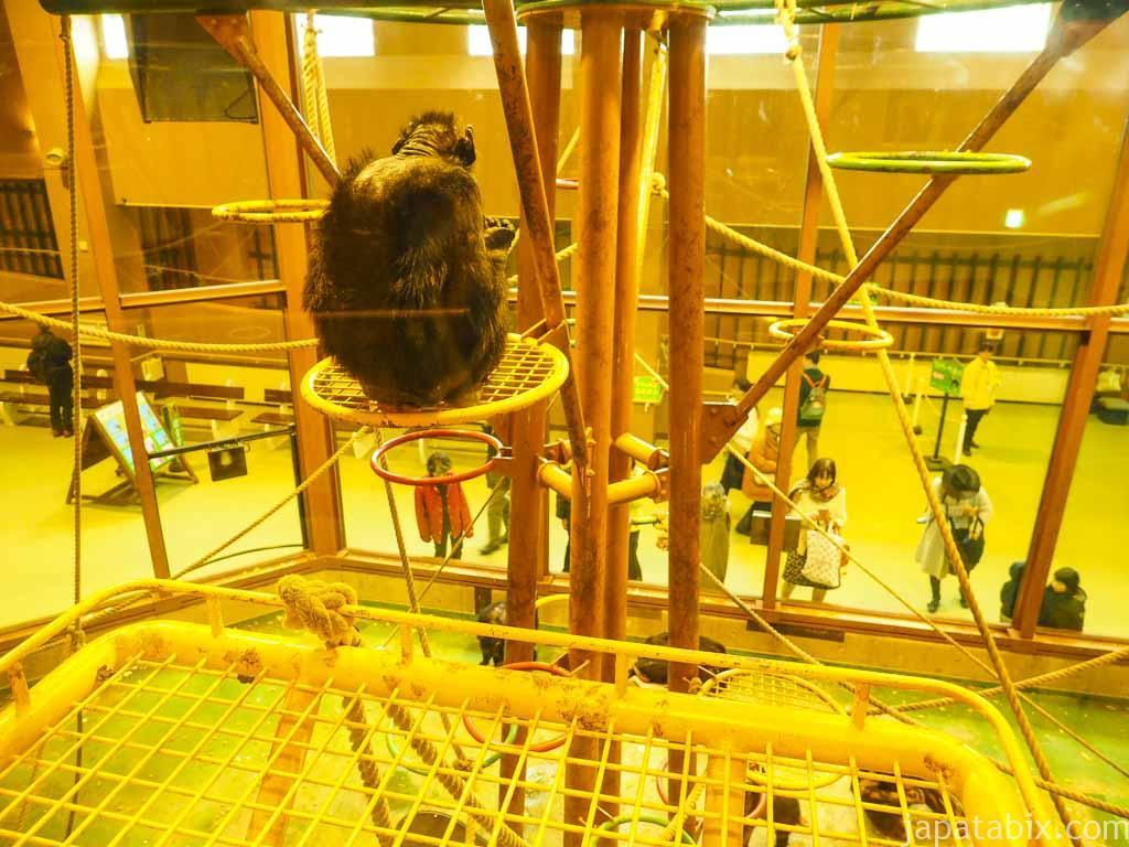 旭山動物園 チンパンジーの森