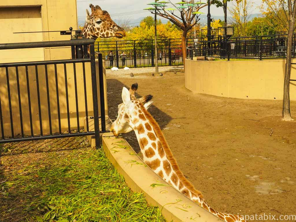 旭山動物園 きりん舎
