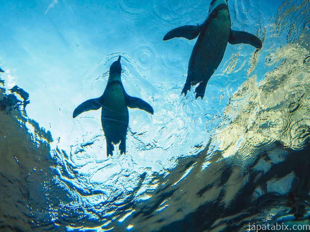 旭山動物園 ぺんぎん館 空飛ぶペンギン