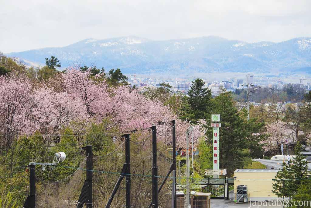 旭山動物園前の桜